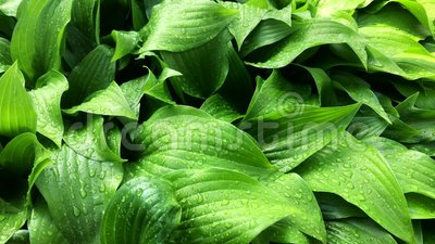 Fresh Green Leaves Background with rain drops. stock footage