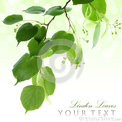Fresh green linden leaves border