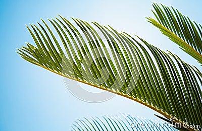 Fresh green palm leaves