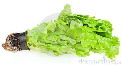 Fresh green plant lettuce