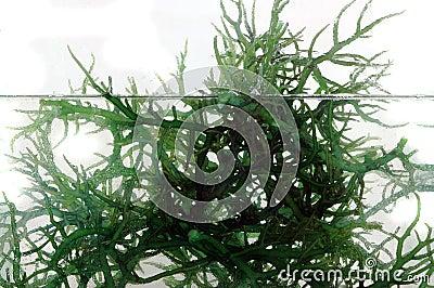 Fresh green seaweed in the water