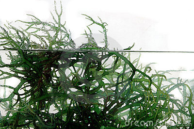 Fresh green seaweed in the water