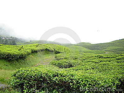 Fresh, green, tea garden