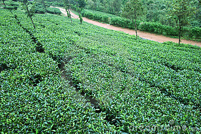 Fresh green Tea gardens