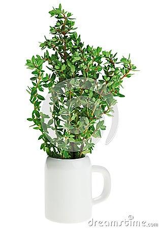 Fresh green thyme bunch in small ceramic noggin