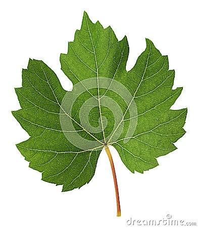 Free Fresh Green Vine Leaf Royalty Free Stock Photos - 104766338