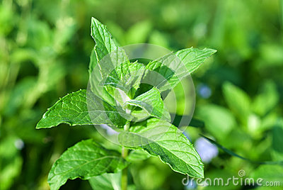 Fresh green wild mint