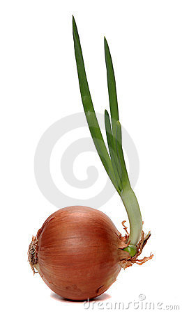 Fresh growing onion