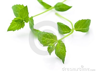 Fresh harvested spearmint leaves isolated on white