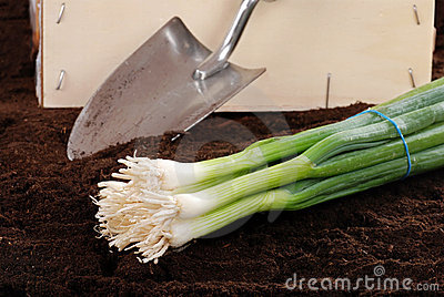 Fresh harvested spring onions