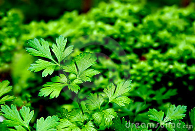 Fresh herb: flatleaf parsley
