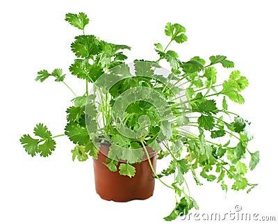 Fresh Herbs Coriander 1
