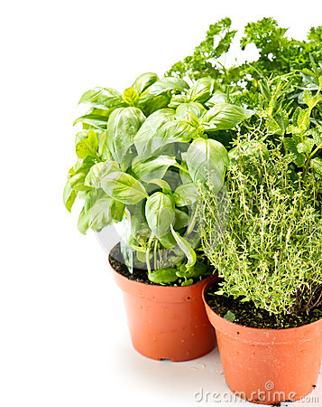 Fresh herbs in gardening pots
