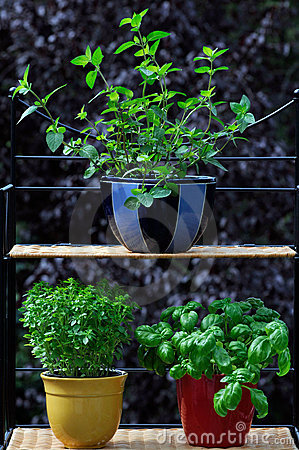 Fresh herbs in pots