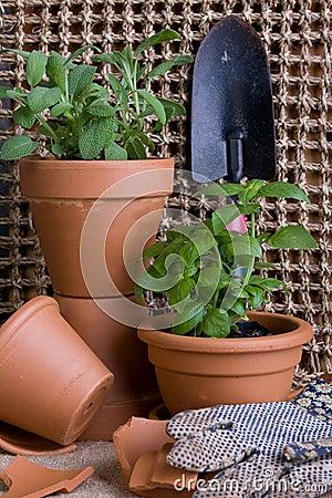 Fresh Herbs rb In Terracotta Pots