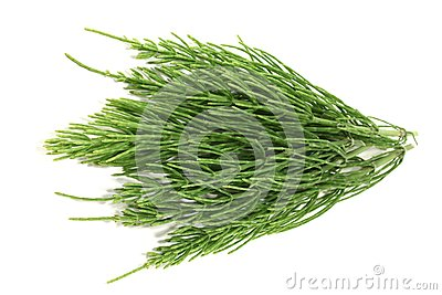 Fresh horsetail