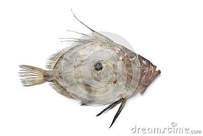 Fresh John Dory fish