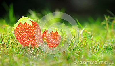 Fresh juicy strawberries plant grass