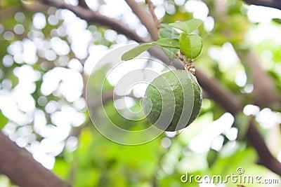 Fresh Kaffir Lime