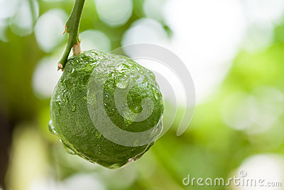 Fresh Kaffir Lime with water drop