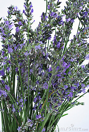 Fresh lavender close up