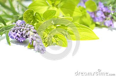 Fresh lavender and marjoram, close up