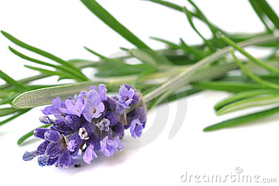 Fresh Lavender and Rosemary Stock Photo