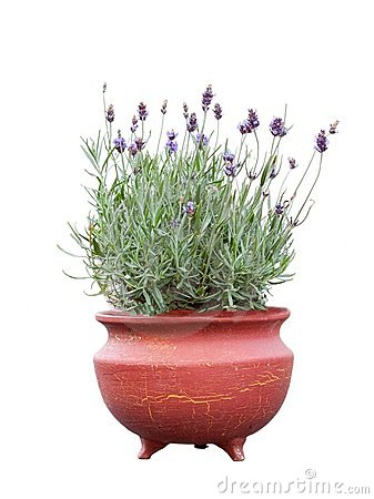 Fresh lavender in terracotta pot stock image image 15263861 - Growing lavender pot ...