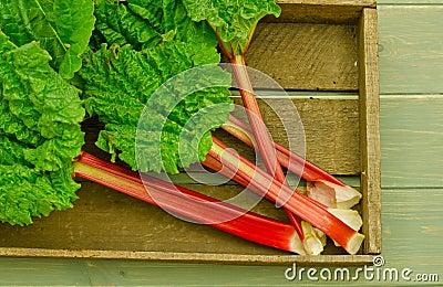 Fresh leafy rhubarb