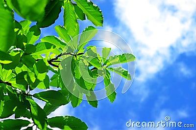 Fresh leaves of magnolia