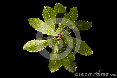 Fresh leaves over black background