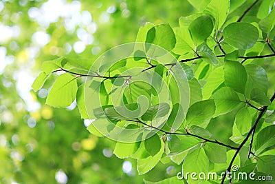 Fresh leaves in spring