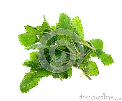 Fresh lemon balm herb