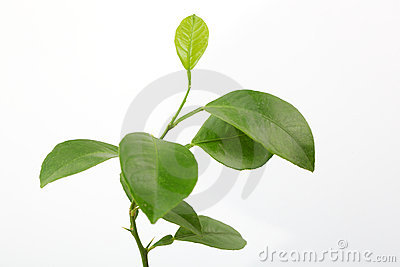 Fresh lemon leaves