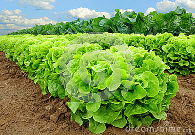 Fresh lettuce on a field