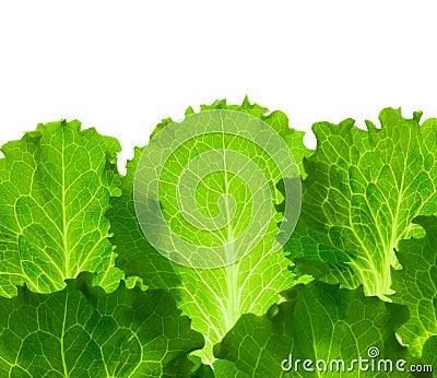 Fresh Lettuce /  leaes isolated on white