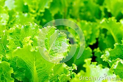 Fresh lettuce leafs