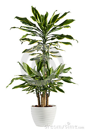 Free Fresh Look Dracaena Fragrans Flowering Plant Stock Images - 83239264