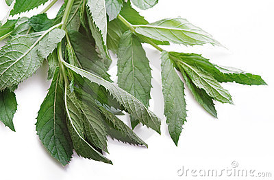 Fresh mint herb leaves