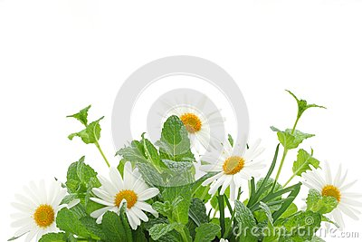 Fresh mint leaves with daisy