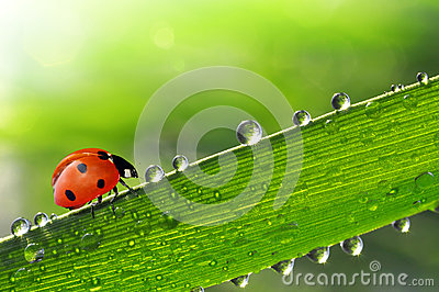 Fresh morning dew with ladybird