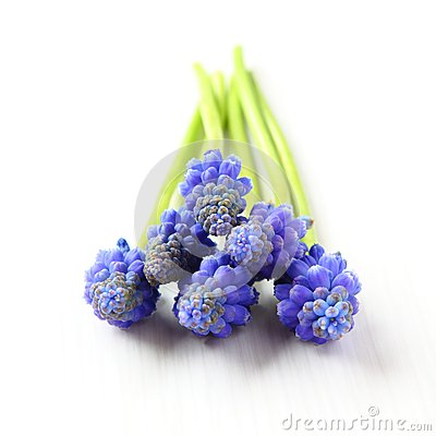 Fresh muscari grape hyacinth flowers