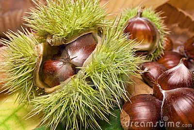 Fresh neat chestnuts on fallen leaves