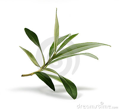 Free Fresh Olive Branch Leaves Royalty Free Stock Photo - 22899795