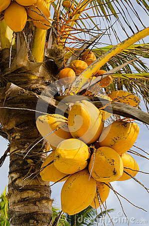 Fresh orange coconuts on the tree