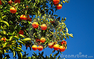 Fresh Oranges on the Tree