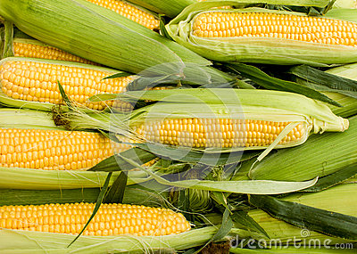 Fresh organic corn on cob