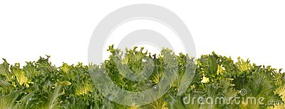 Fresh organic green vegetable leaf on white