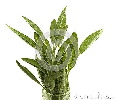 Fresh organic herb sage
