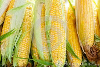 Fresh, organic, home cultivated yellow sweet corn